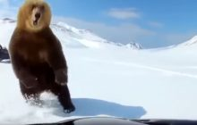 Wybudzili niedźwiedzia z zimowego snu i gonili go po śniegu. O mało nie doszło do tragedii [WIDEO]
