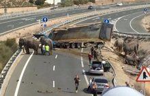 Hiszpania: Autostrada została zablokowana przez... biegające słonie [WIDEO]