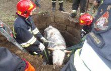 Nietypowa akcja ratunkowa w Nowym Sączu. Strażacy uratowali uwięzioną krowę [FOTO]