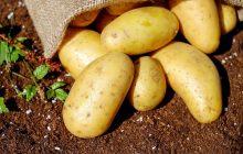Groźna bakteria w ziemniakach z Egiptu. Resort wydał komunikat