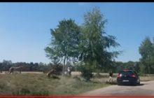 Gepardy zaatakowały rodzinę w parku safari. Zignorowali zakaz [WIDEO]
