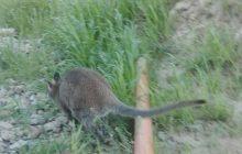 W Krakowie biegał... kangur. Interweniowała Straż Miejska [FOTO]