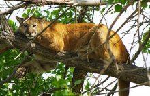 USA: Puma zabiła rowerzystę. Zwierzę zaciągnęło jego ciało do jamy