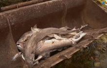 Francja: Morze wyrzuciło na brzeg prawie 500 rekinów. Wszystkie były martwe [WIDEO]
